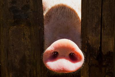 Pig Nose in Wooden Fence. Young Curious Pig Smells Photo Camera. Funny Village Scene with Pig. Agri