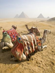 Resting Camels Gaze Across the Desert Sands of Giza, Cairo, Egypt by Dave Bartruff