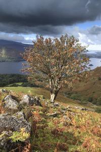 Rowan Tree Ashness Fell, Lake District by Dave Porter Peterborough Uk