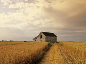 Old Barn in Maturing Spring Wheat Field, Tiger Hills, Manitoba, Canada. by Dave Reede