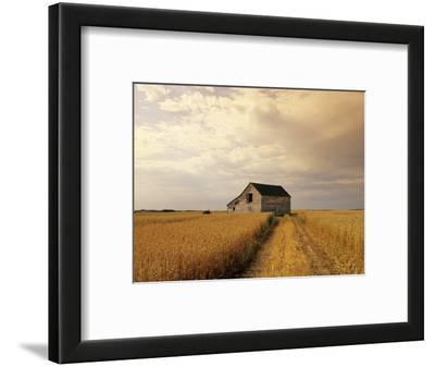 Old Barn in Maturing Spring Wheat Field, Tiger Hills, Manitoba, Canada.