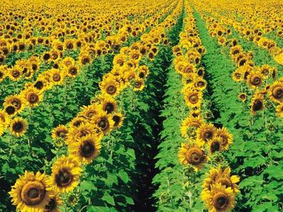 Sunflower Field Near Oakbank, Manitoba, Canada