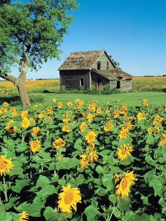 Sunflower Field, Old House, Beausejour, Manitoba, Canada.