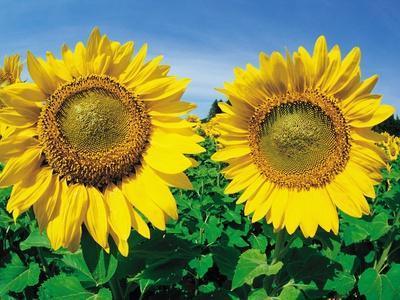 Sunflowers Near Oakbank, Manitoba, Canada