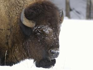 Bison Head (Bison Bison) in Snow, Yellowstone National Park, USA by Dave Watts