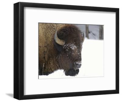 Bison Head (Bison Bison) in Snow, Yellowstone National Park, USA