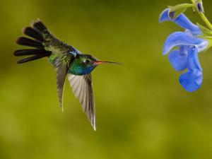 Broad-Billed Hummingbird, Male Feeding on Garden Flowers, USA by Dave Watts