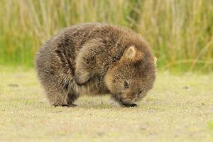 Common Wombat (Vombatus Ursinus) Adult Scratching, Tasmania by Dave Watts