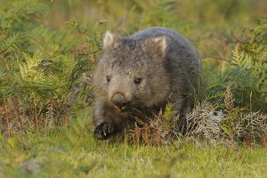 Common Wombat (Vombatus Ursinus). Tasmania, Australia, February by Dave Watts