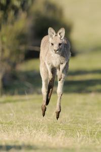 Eastern Grey Kangaroo (Macropus Giganteus) Bounding by Dave Watts