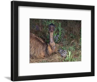 Emu (Dromaius Novaehollandiae) Male with Chick at the Nest, Queensland, Australia