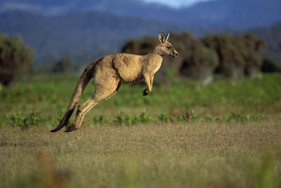 Forester Kangaroo (Macropus Giganteus Tasmaniensis) Jumping, Tasmania, Australia