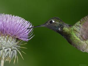 Magnificent Hummingbird, Adult Feeding on Garden Flowers, USA by Dave Watts