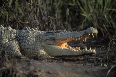 Saltwater Crocodile (Crocodylus Porosus) Northern Territory, Australia
