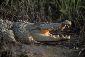 Saltwater Crocodile (Crocodylus Porosus) Northern Territory, Australia by Dave Watts