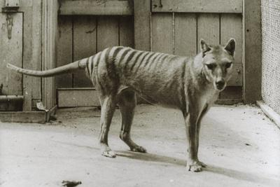 Thylacine - Tasmanian Tiger - Tasmanian Wolf (Thylacinus Cynocephalus) Last Known Individual