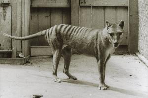 Thylacine - Tasmanian Tiger - Tasmanian Wolf (Thylacinus Cynocephalus) Last Known Individual by Dave Watts