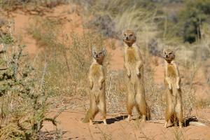 Yellow Mongooses (Cynictis Penicillata) Standing Alert, Kgalagadi National Park, South Africa by Dave Watts
