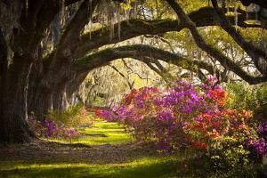 Charleston Sc Plantation Oak Trees Spanish Moss Azalea Spring Flowers by daveallenphoto