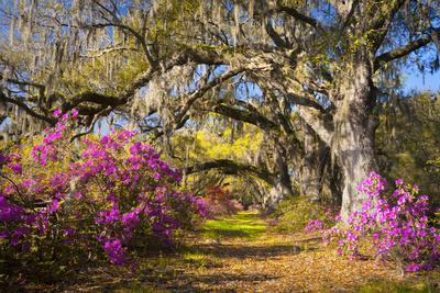 Spring Flowers Charleston Sc Azalea Blooms Deep South Landscape Photography