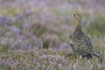 Red Grouse (Lagopus Lagopus), North Pennine Moors, County Durham, England, United Kingdom, Europe