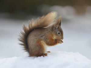 Red Squirrel (Sciurus Vulgaris), North Pennines, England, United Kingdom, Europe by David and Louis Gibbon