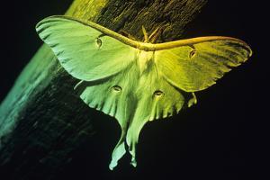 American Moon Moth by David Aubrey