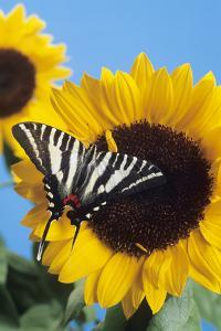 American Swallowtail by David Aubrey