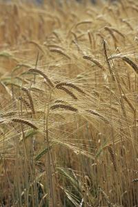 Barley by David Aubrey