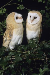 Barn Owls by David Aubrey