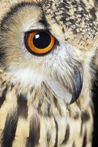 Bengalese Eagle Owl by David Aubrey