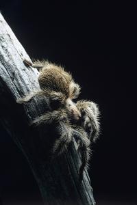 Bird-eating Spider by David Aubrey