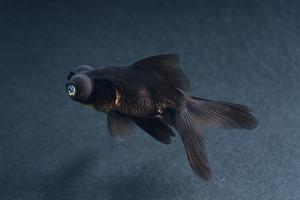 Black Moor Ornamental Fish by David Aubrey