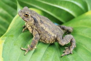 Common Toad by David Aubrey