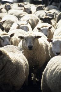 Domestic Sheep by David Aubrey