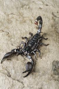 Emperor Scorpion by David Aubrey
