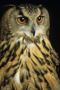 European Eagle Owl by David Aubrey