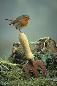 European Robin by David Aubrey