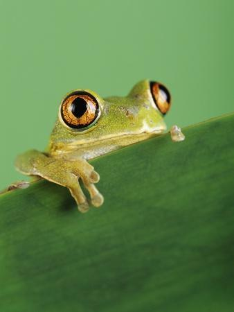 Frog Clinging to Leaf
