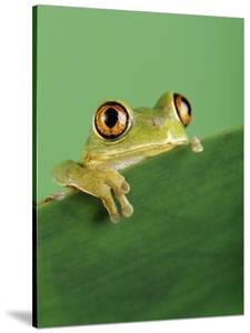 Frog Clinging to Leaf by David Aubrey
