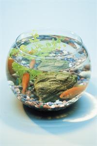 Goldfish In a Bowl by David Aubrey