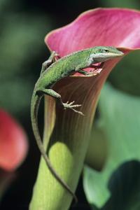 Green Anole Lizard by David Aubrey