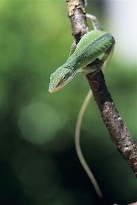Green Anole by David Aubrey