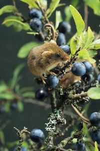 Harvest Mouse by David Aubrey