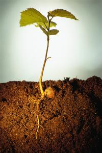 Hazel Tree Seedling and Exposed Root by David Aubrey