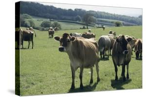 Jersey Cows by David Aubrey