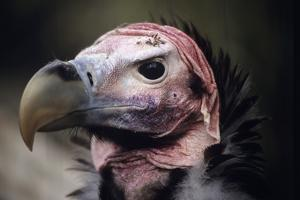 Lappet-faced Vulture by David Aubrey