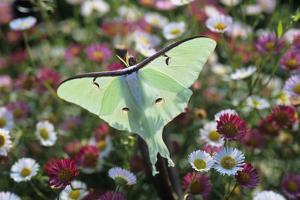 Luna Moth by David Aubrey