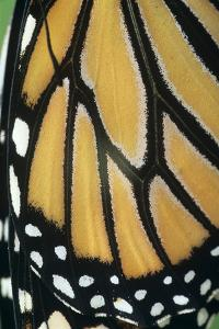 Monarch Butterfly Wing Detail by David Aubrey