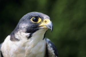 Peregrine Falcon by David Aubrey